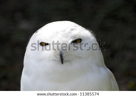 Snowy white owl looking at camera against dark background