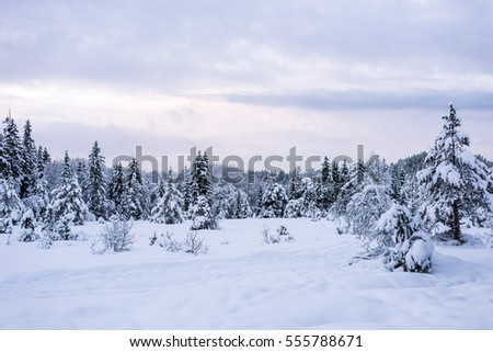 Snowy winter forest with spruce trees at sunset.