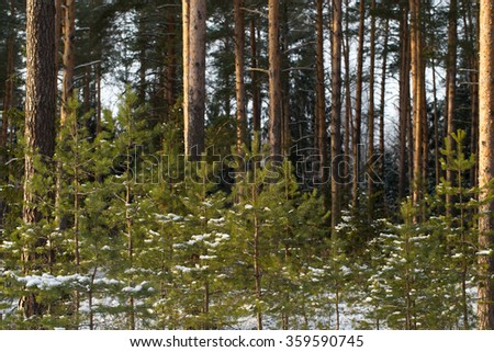 Snowy winter in the pine forest. Selective focus. Shallow depth of field.