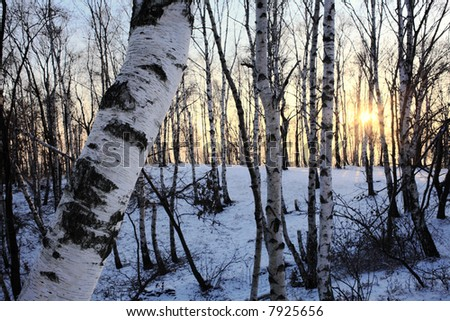 Snowy woods of birch, winter season