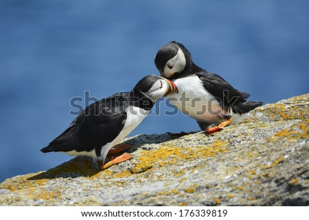 snuggling puffins - stock photo