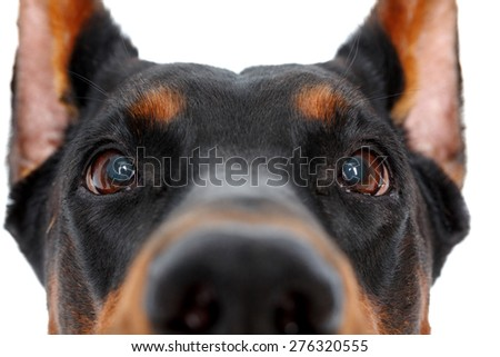 So curious. Close up of muzzle of dobermann pinscher on isolated white background - stock photo