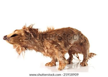 Soaking wet dog, shaking dog. Studio isolated, focus on the nose. - stock photo
