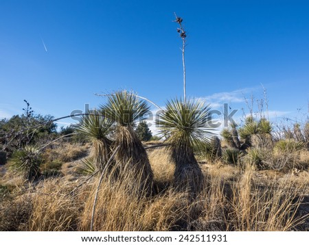 Soaptree Yucca (Yucca elata) is a perennial plant, with common names that include soaptree, soapweed, and palmella.[2][3] It is native to southwestern North America - stock photo