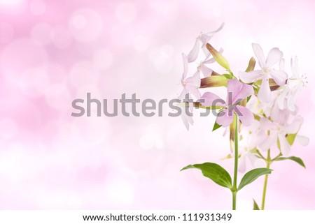 Soapwort on bokeh light effect background - stock photo