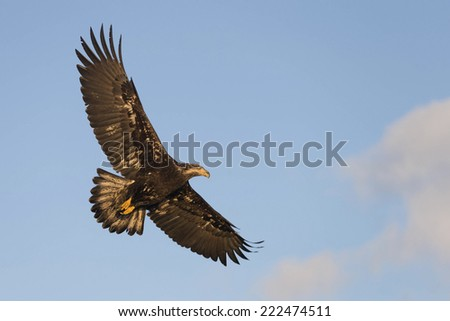 Soaring Bald Eagle at Homer Alaska
