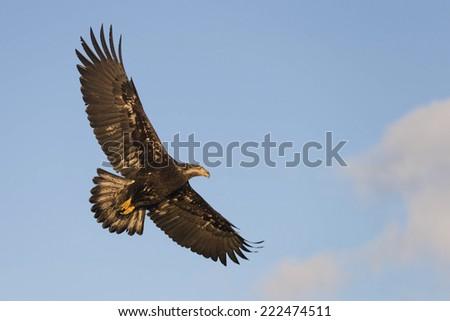 Soaring Bald Eagle at Homer Alaska - stock photo
