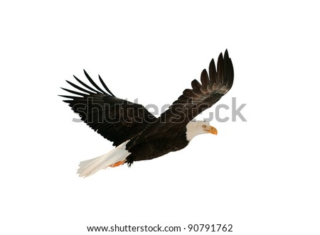 Soaring bald eagle ( Haliaeetus leucocephalus ) isolated on the white. Against a white background - stock photo
