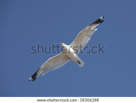 Soaring Herring Gull. - stock photo
