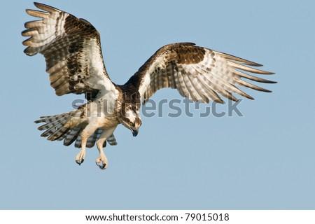 Soaring Osprey - stock photo