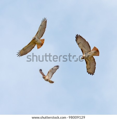 Soaring Red-Tailed Hawks (Buteo jamaicensis) - stock photo