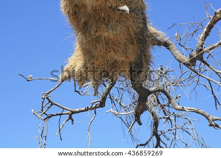 Sociable weavers (Philetairus socius) bird nest in Etosha National Park, Namibia.