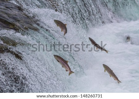 Sockeye Salmon Jumping Up Brooks Falls in Katmai National Park, Alaska - stock photo