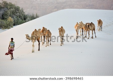 SOCOTRA ISLAND, YEMEN FEBRUARY 15, 2016: unidentified cameleer (camel driver) in the white sand dunes near Steroh village  - stock photo