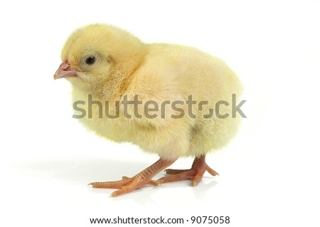 Soft and fluffy easter chick, only 24 hours old, against a white background