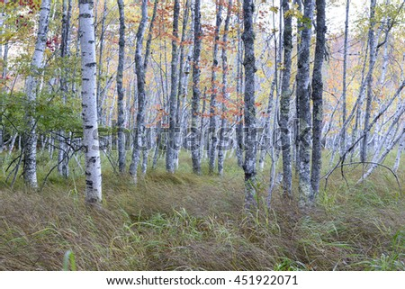 Soft Autumn Colors of Birch Trees in Maine - stock photo