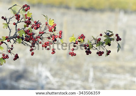 Soft background of Crataegus monogyna. Red fruits of common hawthorn, at autumn season. - stock photo