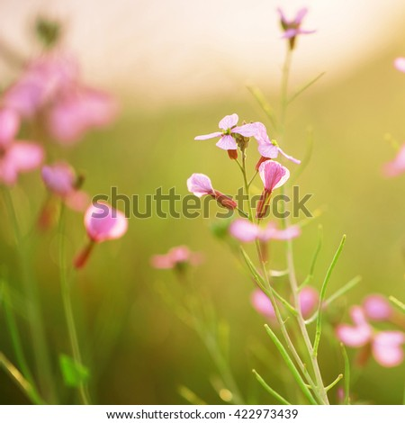 soft beautiful meadow wild pink flowers on natural green grass background in field. Outdoor fresh summer photo with warm colors  - stock photo