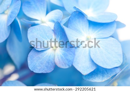 Soft blue Hortensia flower (hydrangea) . Shallow depth of field.