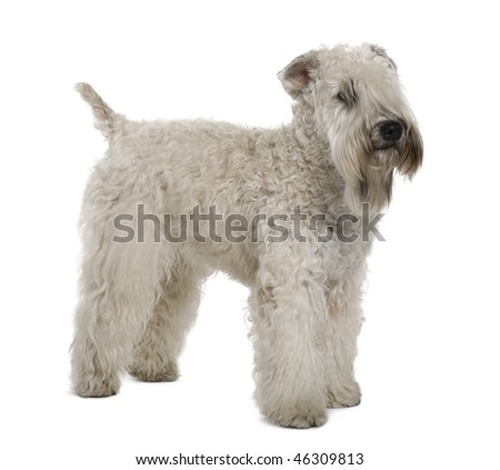 Soft-coated Wheaten Terrier, 1 year old, standing in front of white background - stock photo