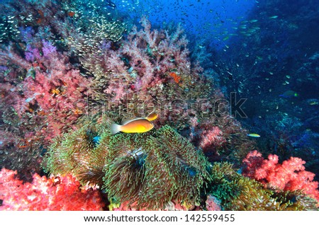 Soft coral colony with clownfish , Similan island Thailand