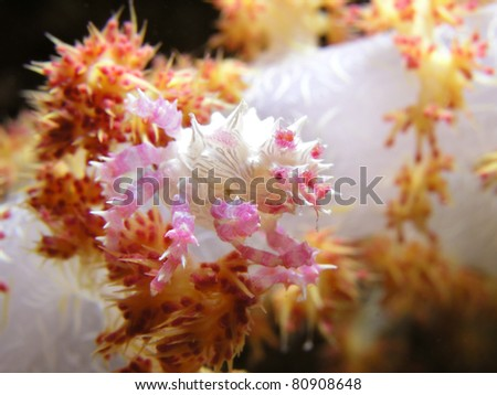 Soft Coral Spider Crab Hoplophrys oatesii - stock photo