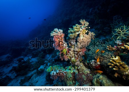 Soft corals at depth at Fury Shoals in the Red Sea, Egypt - stock photo