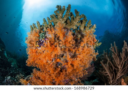 Soft corals, Scleronephthya species, adorn a reef wall in Raja Ampat, Indonesia. This region is known for as the heart of the Coral Triangle and its very high marine biodiversity. - stock photo