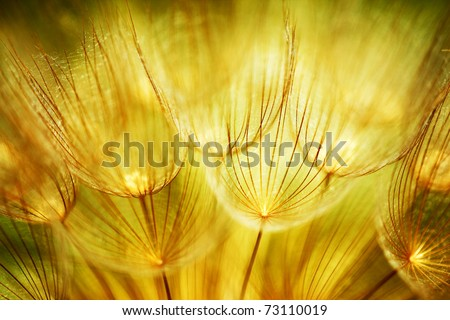 Soft dandelions flower, extreme closeup, abstract spring nature background - stock photo