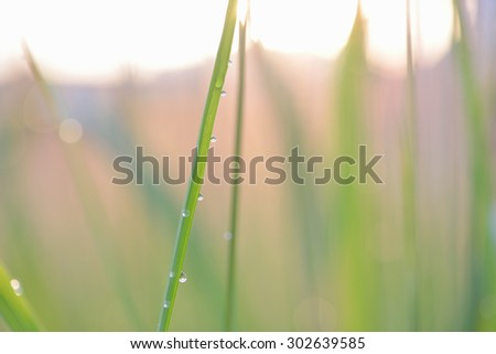 Soft defocused Fresh green grass and grass flower with water drops in fresh morning sun rise - stock photo