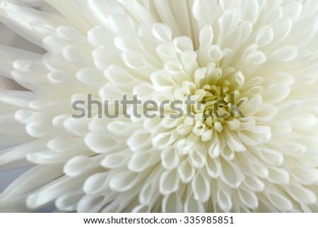 Soft flower - white chrysanthemum, macro - stock photo