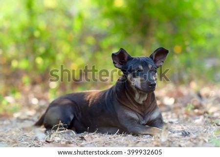 Soft focus and selective focus of a Miniature Pins-cher (Black Dog) resting on hay. (Blurred Background) - stock photo