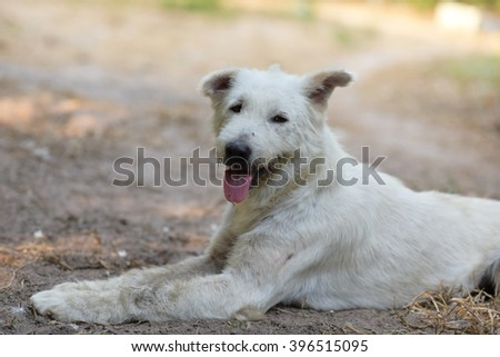 Soft focus and selective focus of a white homeless dog which take relax with blurred back ground. - stock photo