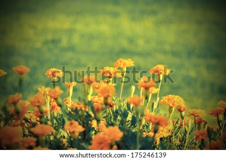 Soft-focus beautiful Marigold flower vintage style - stock photo