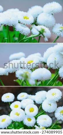 Soft focus close up of spring flowers white daisy - stock photo