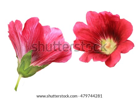 Soft focus Hollyhocks flowers isolated on white background.