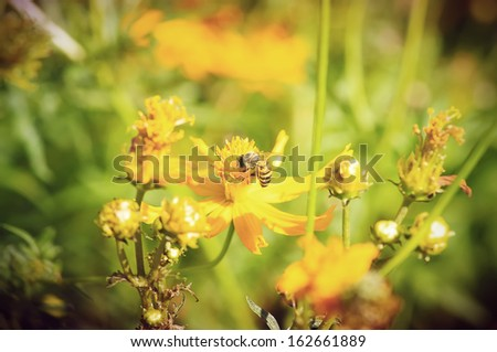 Soft-focus Honey Bee on Yellow Flower, Close Up Macro  - stock photo