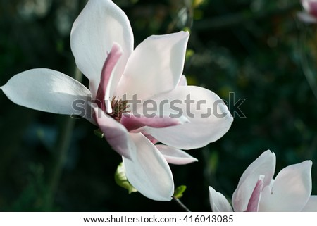 Soft focus image of blossoming magnolia flowers in spring time