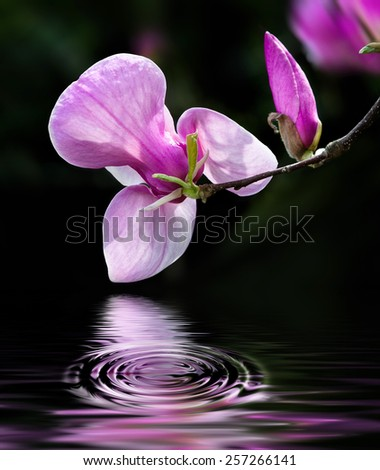 Soft focus image of blossoming magnolia flowers in spring time with water reflection. Shallow DOF  - stock photo