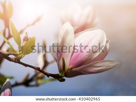 Soft focus image of magnolia flowers under sun light