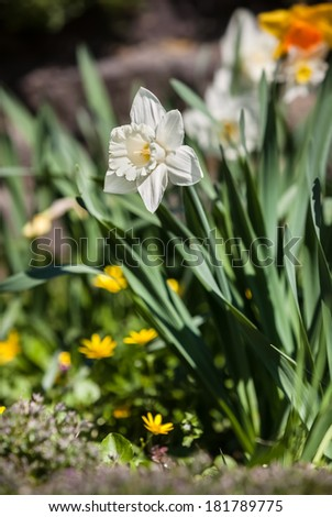 Soft focus image of white narcissus flower in the green grass. Shallow DOF - stock photo