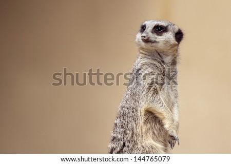 Soft focus Meerkat portrait standing guard looking away  - stock photo