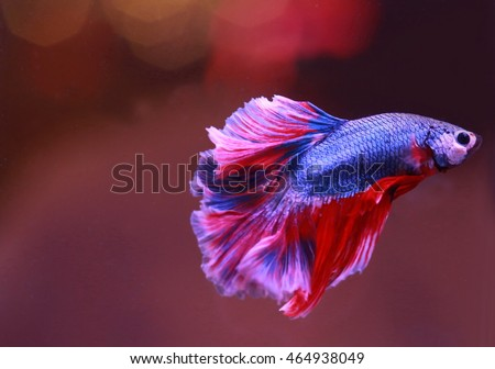 soft focus motion blur of blue red white beta fish tail swim in water background ,Beta fish select focus,siamese fighting fish , betta fish breeding and copy space, France flag