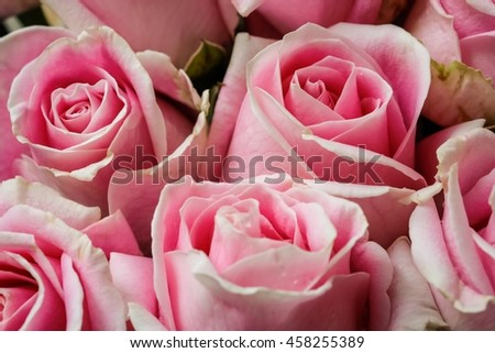 Soft focus of beautiful pink rose background, close up of pink rose - stock photo