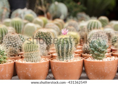 Soft focus of cactus with flower cactus in a pot and selective focus. - stock photo