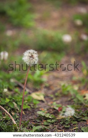 soft focus of dandilion with blurred garden background - stock photo