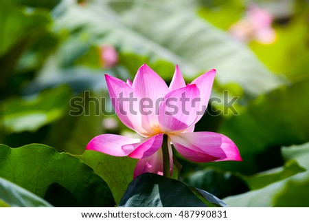 Soft focus lotus flower symbol pureness stock photo royalty free soft focus of lotus flower the symbol of pureness and mercy in buddhism in asia mightylinksfo Choice Image