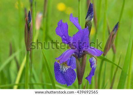Soft focus of purple Iris flower with yellow shade blooming during raining summer in Austria, Europe - stock photo