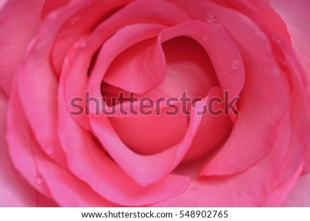 Soft focus of sweet pink rose