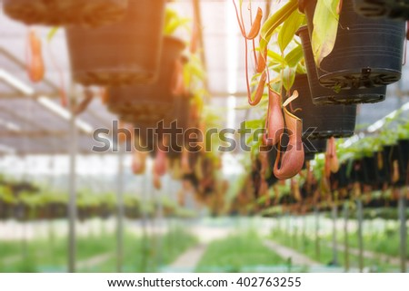 Soft focus of Tropical pitcher plants  in garden. - stock photo